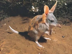 The First Capital Connect Bilby
